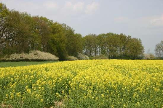 Rapsfeld-bei-Seedorf